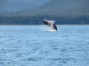 Humpback Whale, Juneau, Alaska