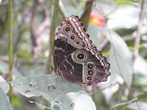 De andere kant is felblauw, maar dat is niet vast te leggen helaas, zo vlindervlug zijn deze beauty's