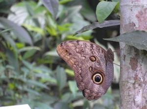 Een uilvlinder in de vlindertuin van Gamboa Rainforest Resort