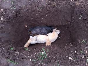 Vrijdag trof ik thuis een heel ziek caviaatje aan. 's Nachts is arme Zoef begonnen aan haar laatste reis. Bobo, het konijn van mijn zus, had dezelfde reis geboekt, een enkeltje Heaven. Samen hebben we hun knuffellijfjes terug gegeven aan de aarde.