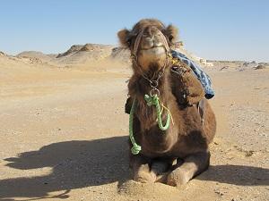 Raiga poseert! Kijk die knietjes, een kameel zit zo wonderlijk in elkaar.